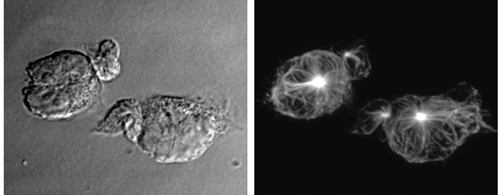 Images of T cell conjugation